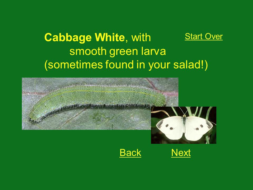 Cabbage White, with smooth green larva (sometimes found in your salad!) Start Over BackNext