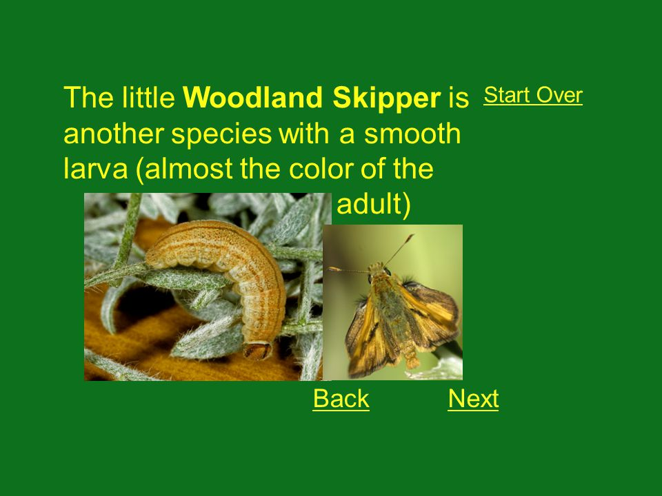 The little Woodland Skipper is another species with a smooth larva (almost the color of the adult) Start Over BackNext