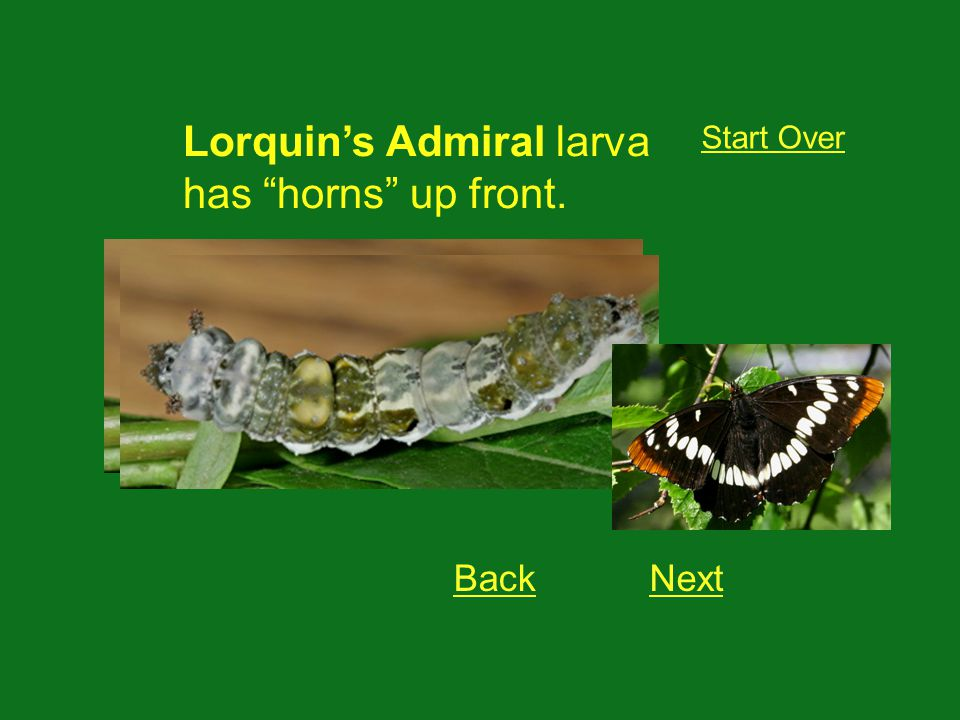 Lorquins Admiral larva has horns up front. Start Over BackNext