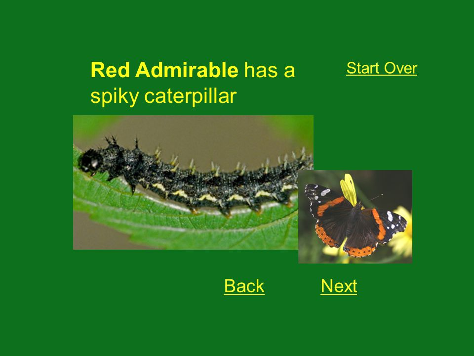 Red Admirable has a spiky caterpillar Start Over BackNext