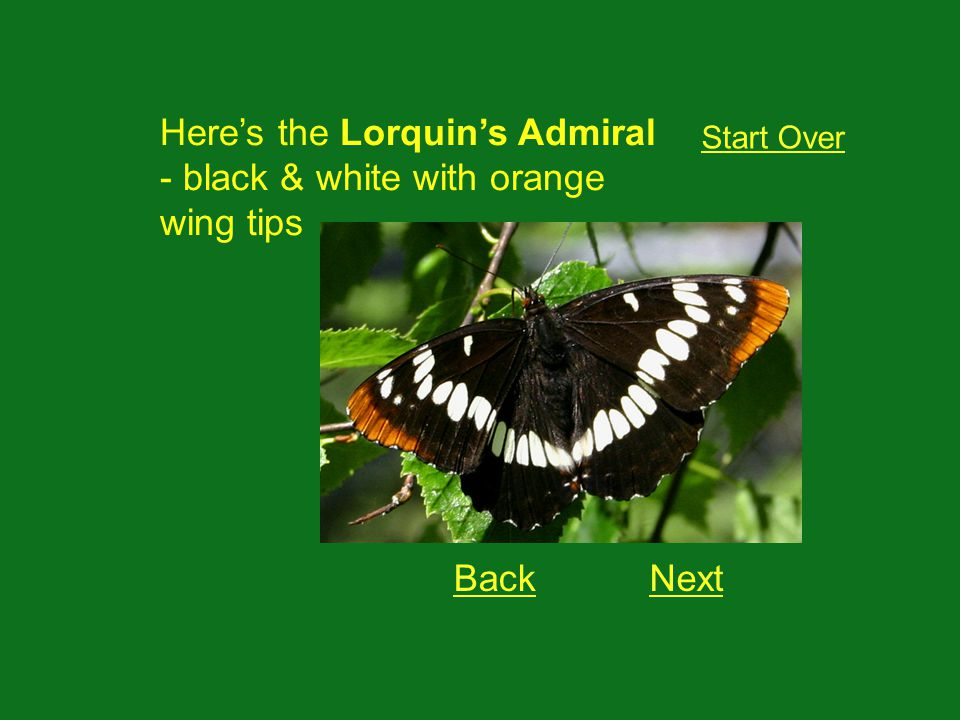 Heres the Lorquins Admiral - black & white with orange wing tips NextBack Start Over
