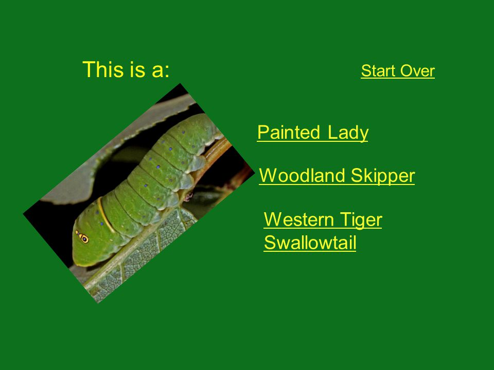 This is a: Start Over Painted Lady Woodland Skipper Western Tiger Swallowtail