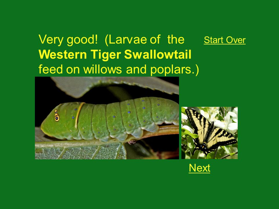 Very good! (Larvae of the Western Tiger Swallowtail feed on willows and poplars.) Next Start Over