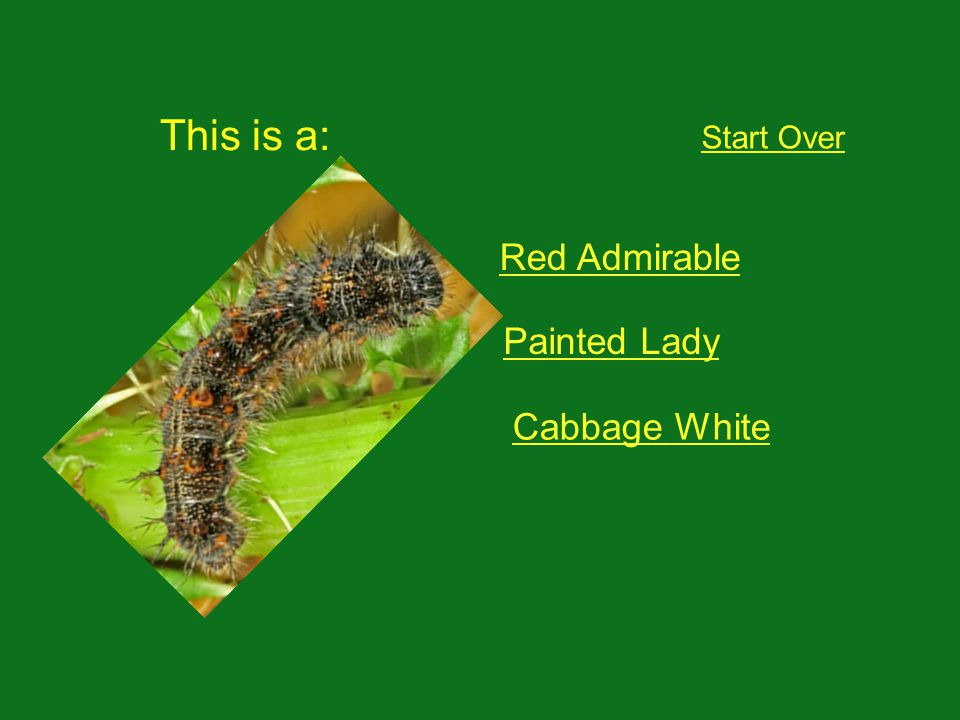 This is a: Start Over Red Admirable Painted Lady Cabbage White