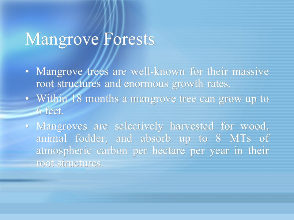 Mangrove Forests Mangrove trees are well-known for their massive root structures and enormous growth rates. Within 18 months a mangrove tree can grow