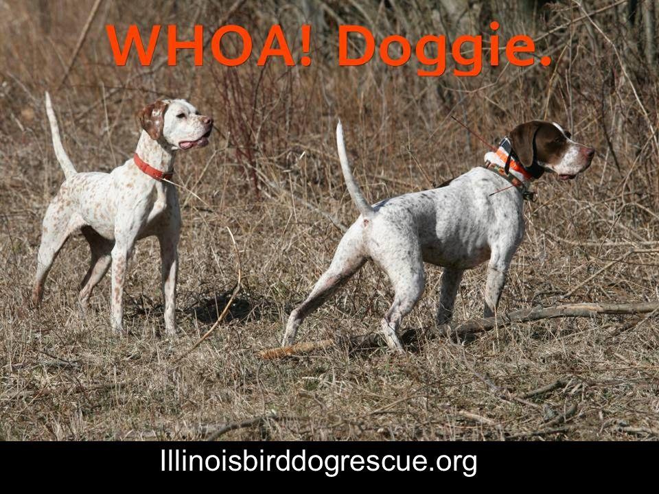 Illinoisbirddogrescue.org