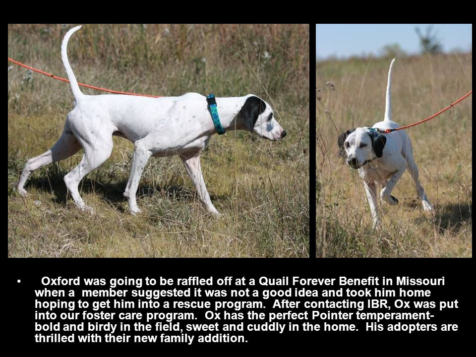 Oxford was going to be raffled off at a Quail Forever Benefit in Missouri when a member suggested it was not a good idea and took him home hoping to get him into a rescue program.