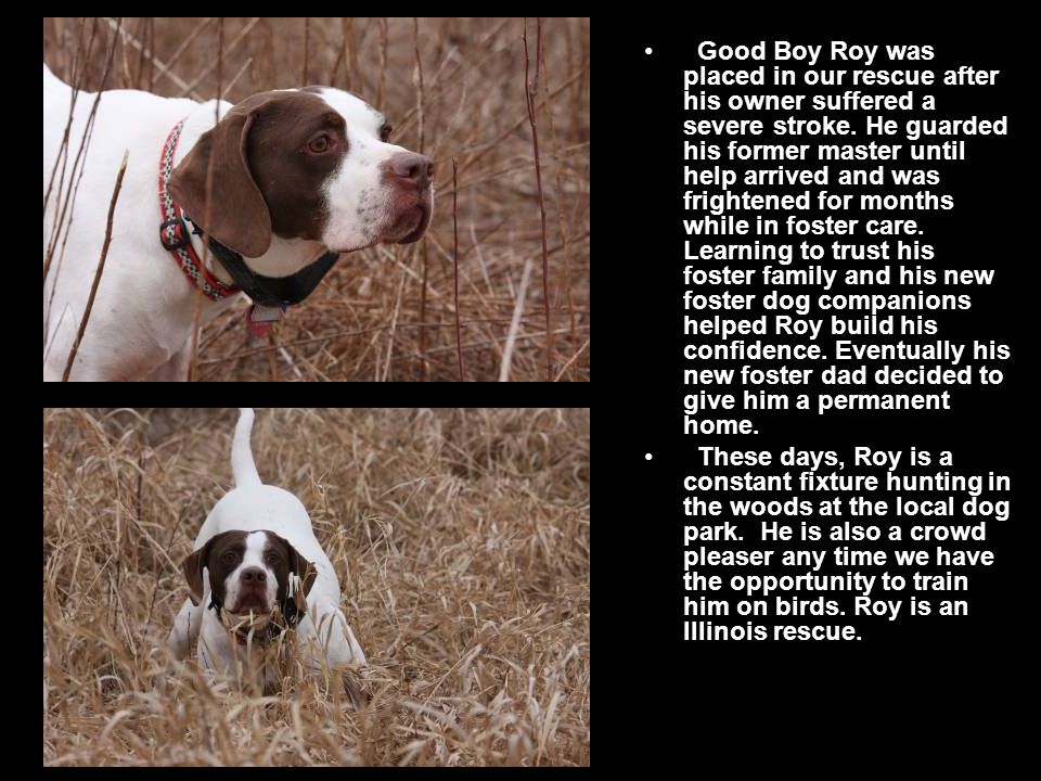 Good Boy Roy was placed in our rescue after his owner suffered a severe stroke.