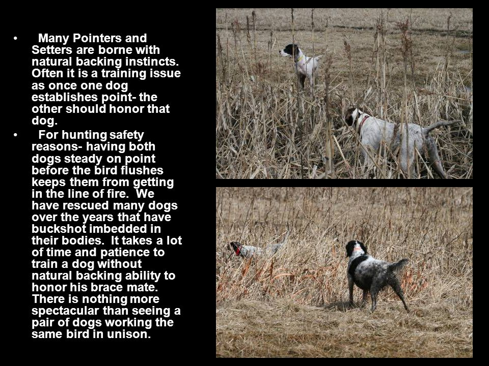 Many Pointers and Setters are borne with natural backing instincts.