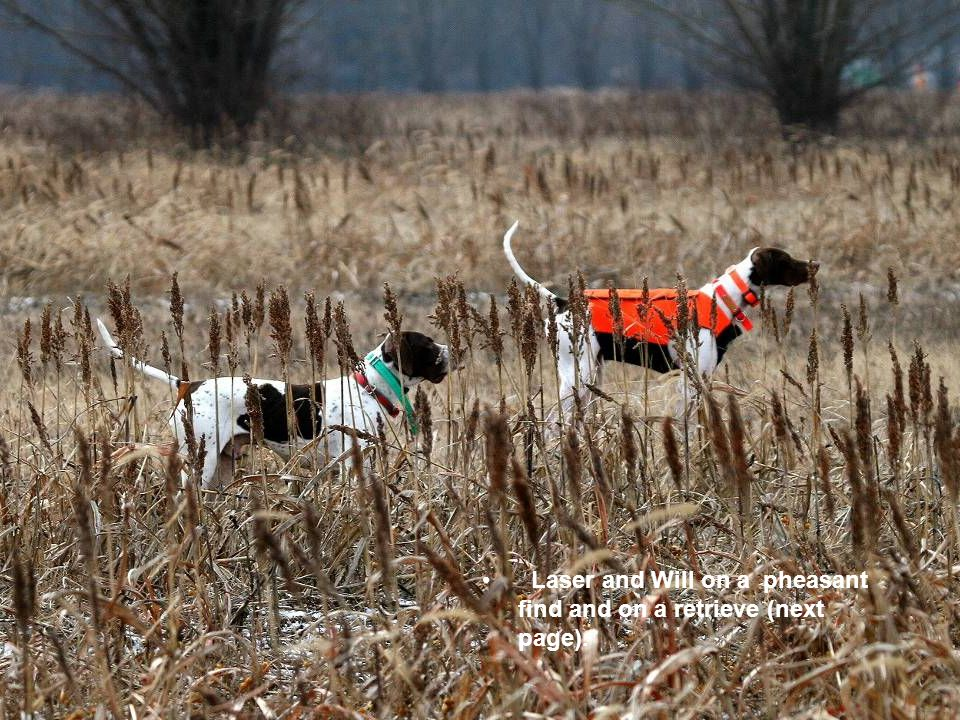 Laser and Will on a pheasant find and on a retrieve (next page).