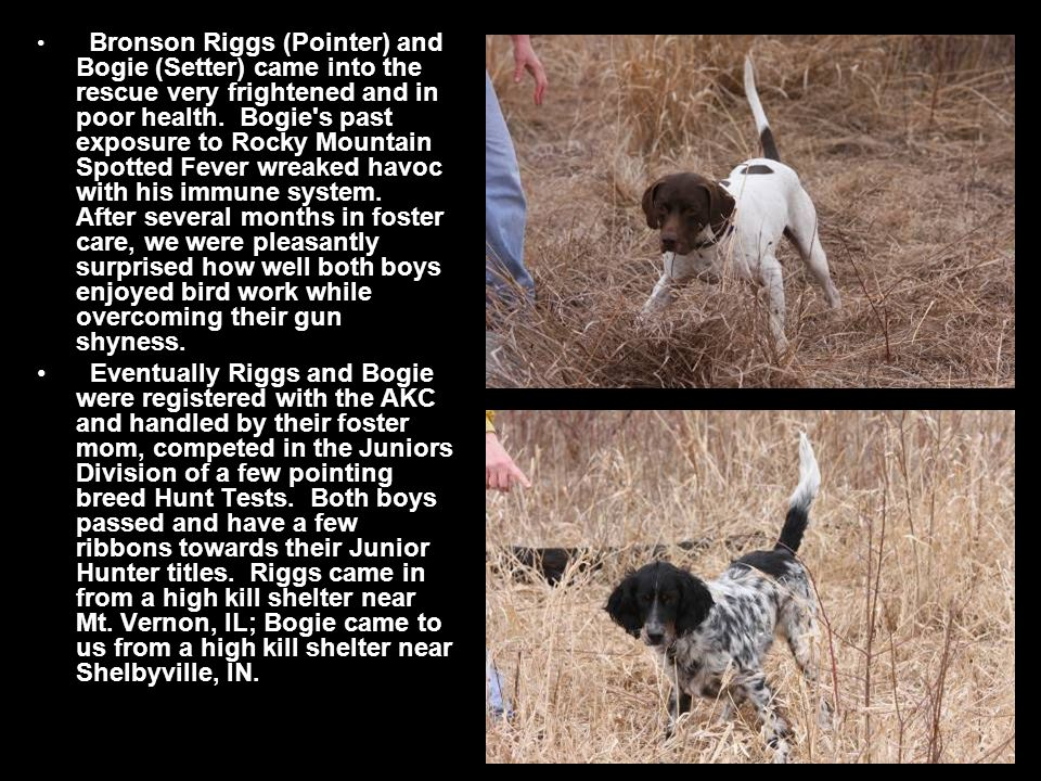 Bronson Riggs (Pointer) and Bogie (Setter) came into the rescue very frightened and in poor health.