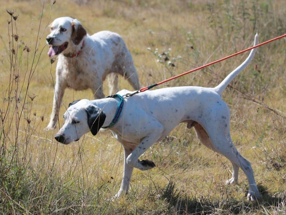 Many Pointers and Setters are natural retrievers.