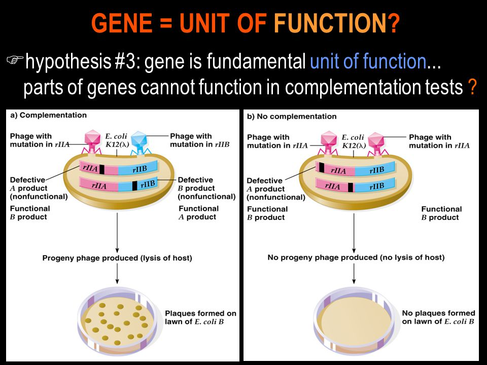 F hypothesis #3: gene is fundamental unit of function... parts of genes cannot function in complementation tests ? GENE = UNIT OF FUNCTION?