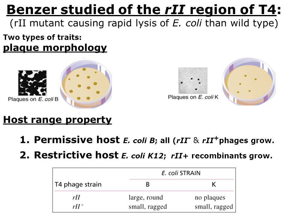 Benzer studied of the rII region of T4: (rII mutant causing rapid lysis of E. coli than wild type) Two types of traits: plaque morphology Host range p