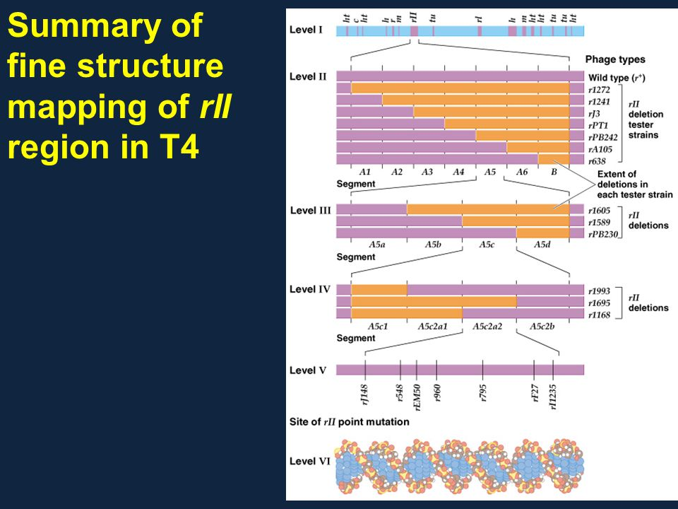 Summary of fine structure mapping of rII region in T4
