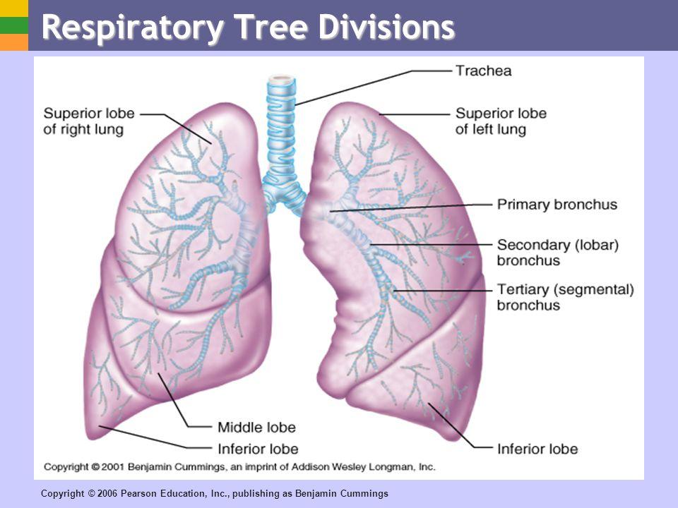 Respiratory Tree Divisions