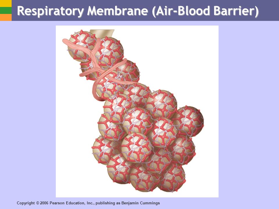 Copyright © 2006 Pearson Education, Inc., publishing as Benjamin Cummings Respiratory Membrane (Air-Blood Barrier)