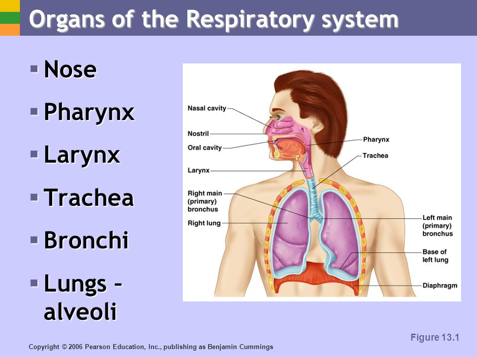 Copyright © 2006 Pearson Education, Inc., publishing as Benjamin Cummings Organs of the Respiratory system Nose Nose Pharynx Pharynx Larynx Larynx Trachea Trachea Bronchi Bronchi Lungs – alveoli Lungs – alveoli Figure 13.1