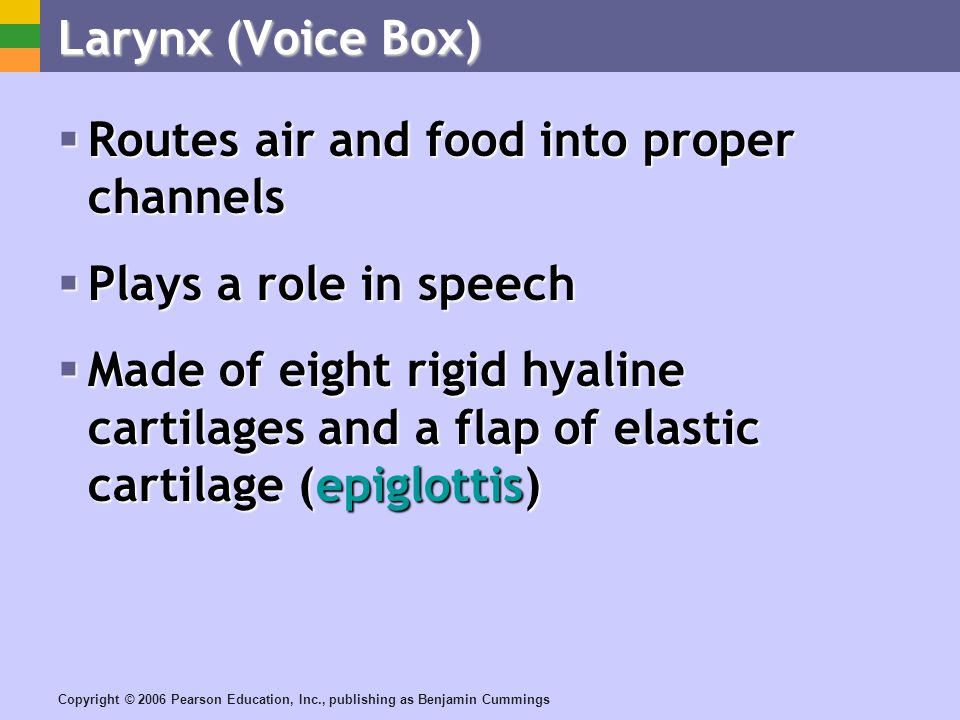 Copyright © 2006 Pearson Education, Inc., publishing as Benjamin Cummings Larynx (Voice Box) Routes air and food into proper channels Routes air and food into proper channels Plays a role in speech Plays a role in speech Made of eight rigid hyaline cartilages and a flap of elastic cartilage (epiglottis) Made of eight rigid hyaline cartilages and a flap of elastic cartilage (epiglottis)