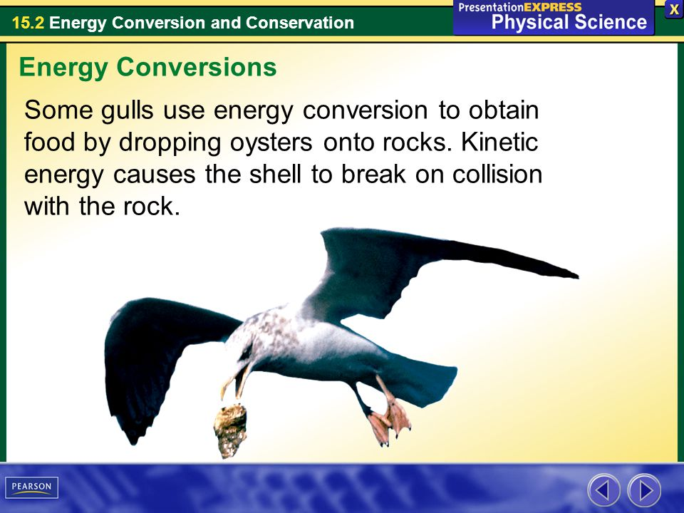 15.2 Energy Conversion and Conservation Some gulls use energy conversion to obtain food by dropping oysters onto rocks. Kinetic energy causes the shel