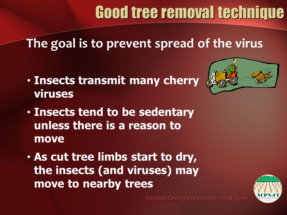 Good tree removal technique The goal is to prevent spread of the virus Insects transmit many cherry viruses Insects tend to be sedentary unless there is a reason to move As cut tree limbs start to dry, the insects (and viruses) may move to nearby trees