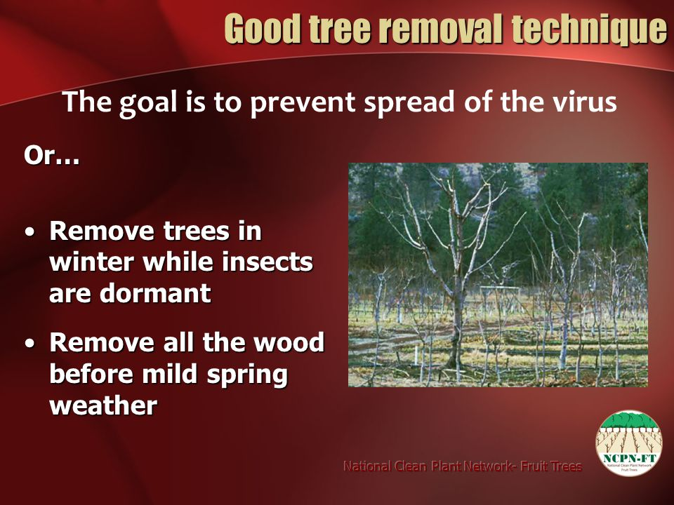 Good tree removal technique The goal is to prevent spread of the virus Or… Remove trees in winter while insects are dormantRemove trees in winter while insects are dormant Remove all the wood before mild spring weatherRemove all the wood before mild spring weather
