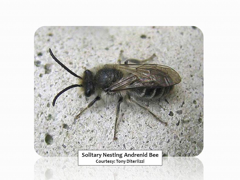 Solitary Nesting Andrenid Bee Courtesy: Tony Diterlizzi