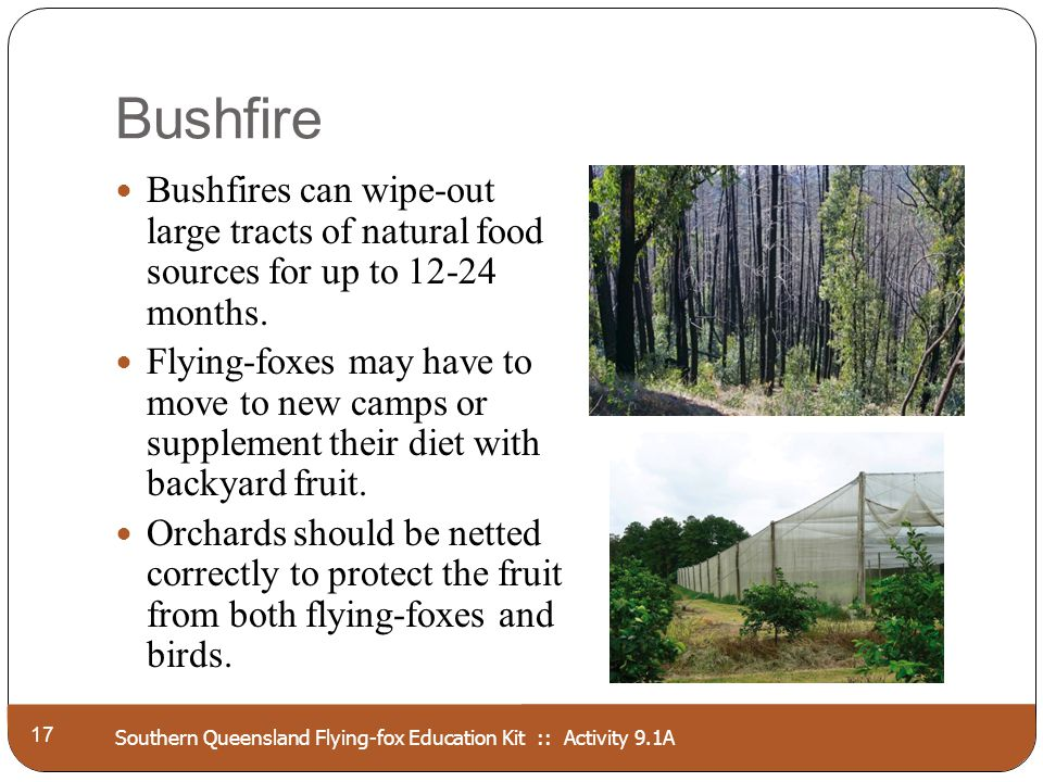 Southern Queensland Flying-fox Education Kit :: Activity 9.1A Bushfire 17 Bushfires can wipe-out large tracts of natural food sources for up to 12-24