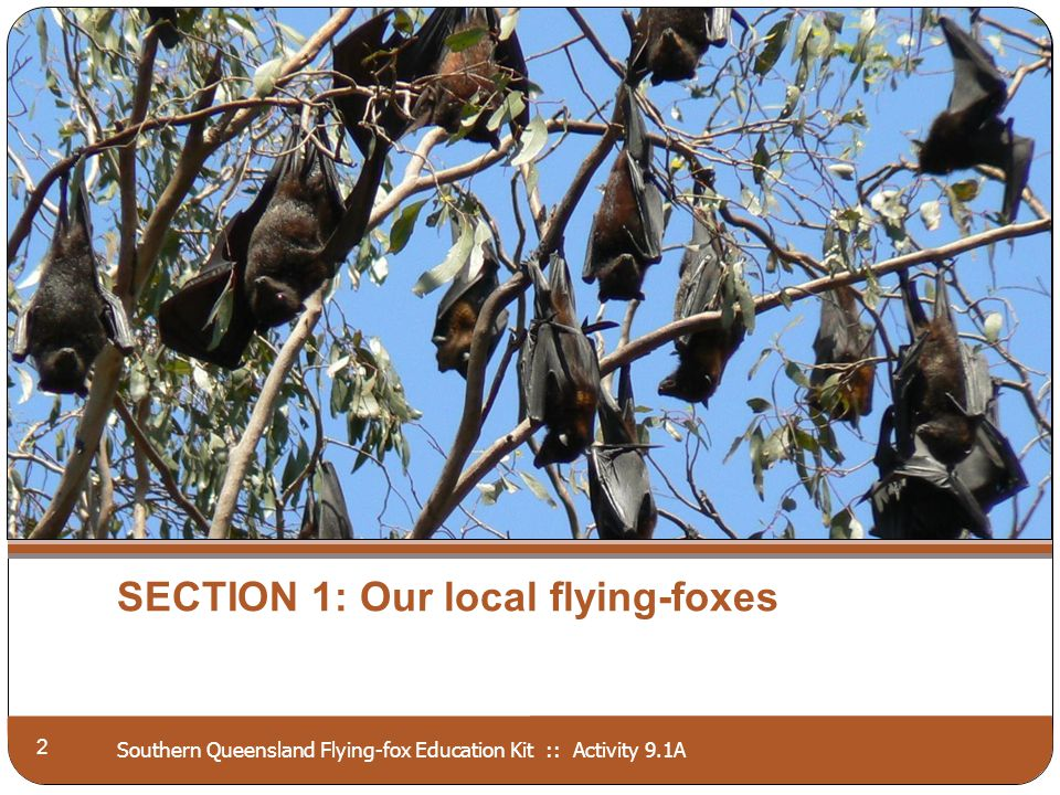 Southern Queensland Flying-fox Education Kit :: Activity 9.1A SECTION 1: Our local flying-foxes 2