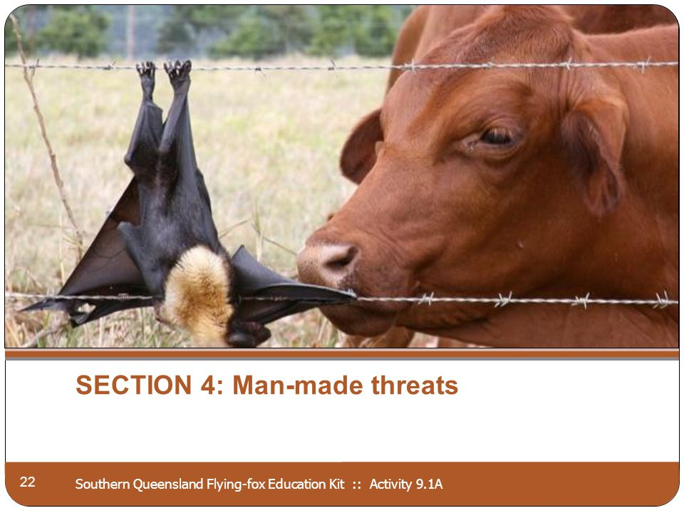 Southern Queensland Flying-fox Education Kit :: Activity 9.1A SECTION 4: Man-made threats 22