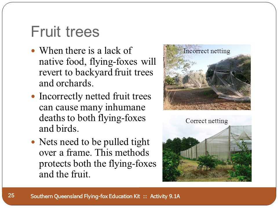 Southern Queensland Flying-fox Education Kit :: Activity 9.1A Fruit trees 25 When there is a lack of native food, flying-foxes will revert to backyard