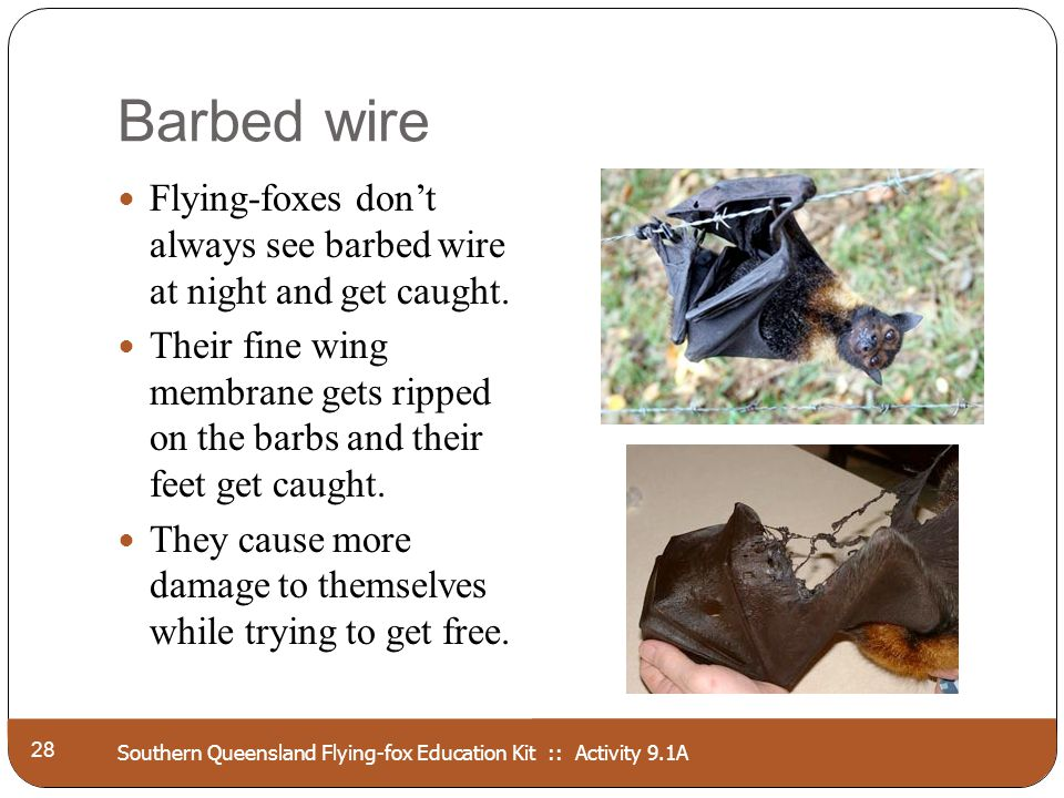 Southern Queensland Flying-fox Education Kit :: Activity 9.1A Barbed wire 28 Flying-foxes dont always see barbed wire at night and get caught. Their f