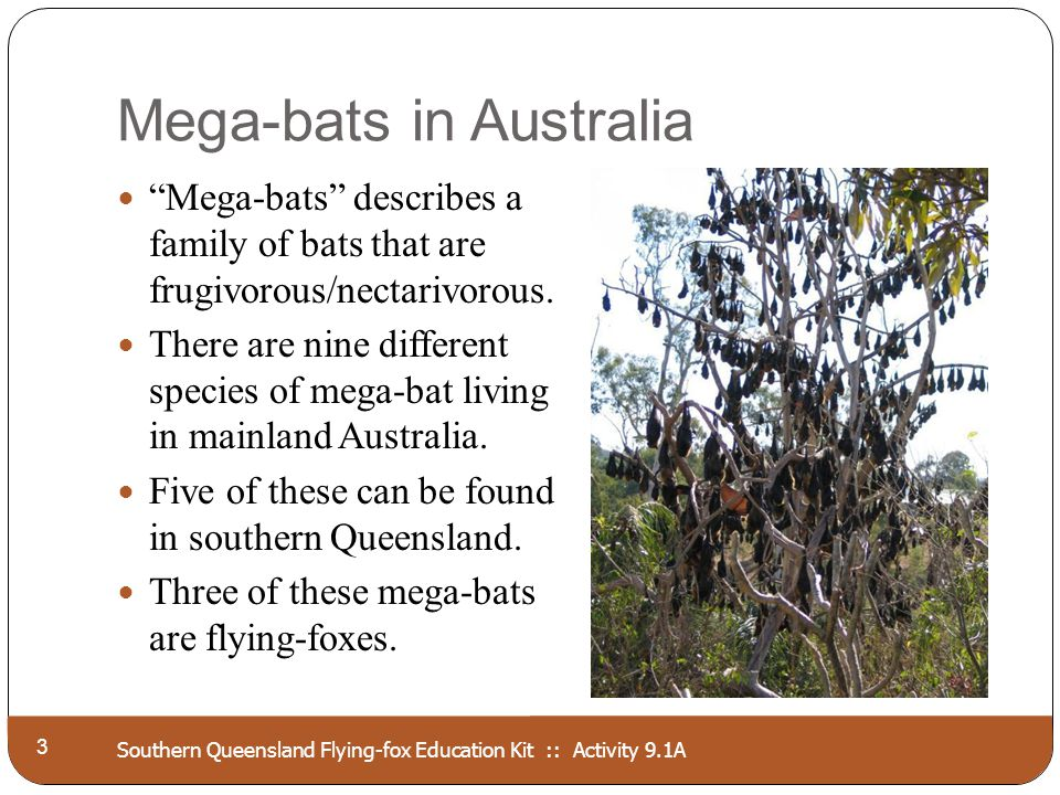 Southern Queensland Flying-fox Education Kit :: Activity 9.1A Mega-bats in Australia 3 Mega-bats describes a family of bats that are frugivorous/necta