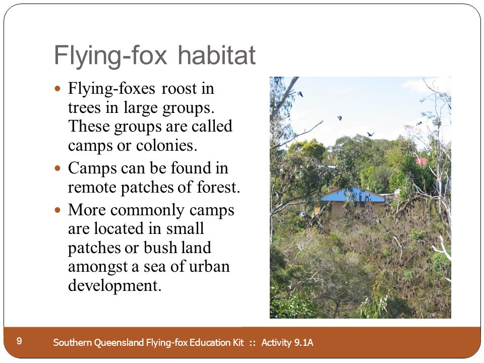 Southern Queensland Flying-fox Education Kit :: Activity 9.1A Flying-fox habitat 9 Flying-foxes roost in trees in large groups. These groups are calle
