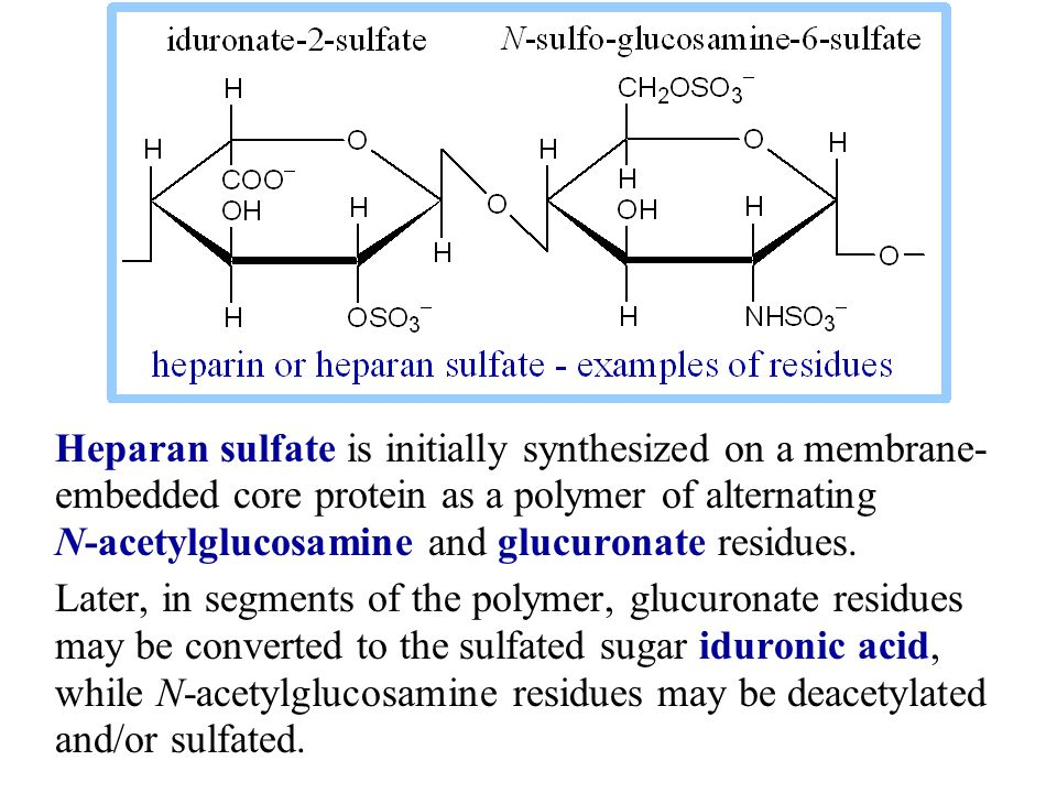Heparan sulfate is initially synthesized on a membrane- embedded core protein as a polymer of alternating N-acetylglucosamine and glucuronate residues