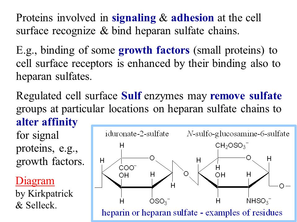 Proteins involved in signaling & adhesion at the cell surface recognize & bind heparan sulfate chains. E.g., binding of some growth factors (small pro