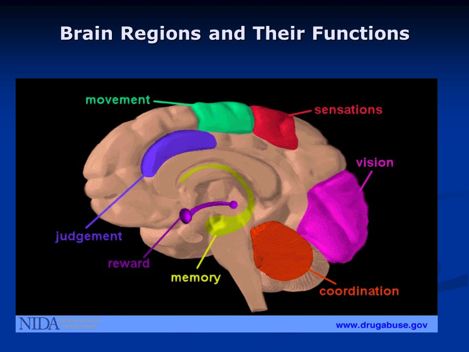 Brain Regions and Their Functions