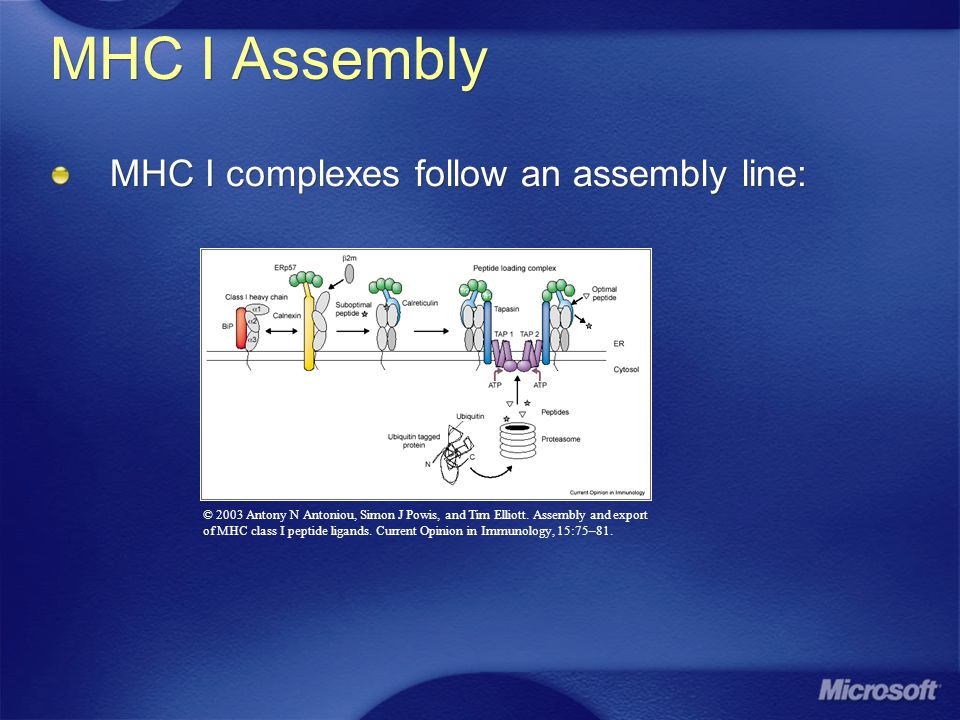 MHC I Assembly MHC I complexes follow an assembly line: © 2003 Antony N Antoniou, Simon J Powis, and Tim Elliott.