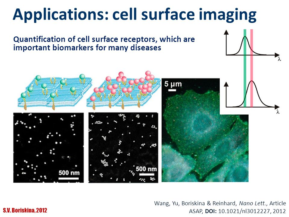 S.V. Boriskina, 2012 Applications: cell surface imaging Quantification of cell surface receptors, which are important biomarkers for many diseases Wan