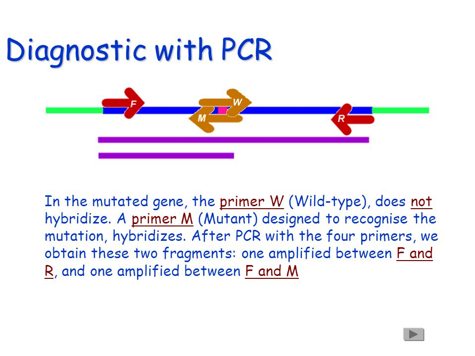 Diagnostic with PCR F/F f/f F/f Lets run our samples on a gel.