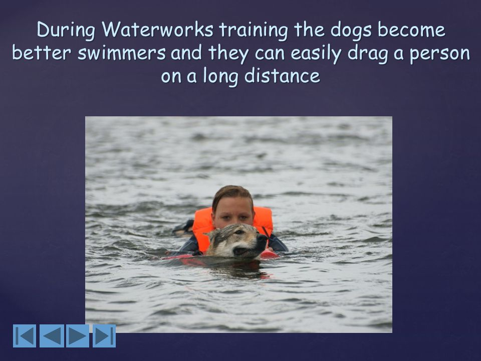 During Waterworks training the dogs become better swimmers and they can easily drag a person on a long distance