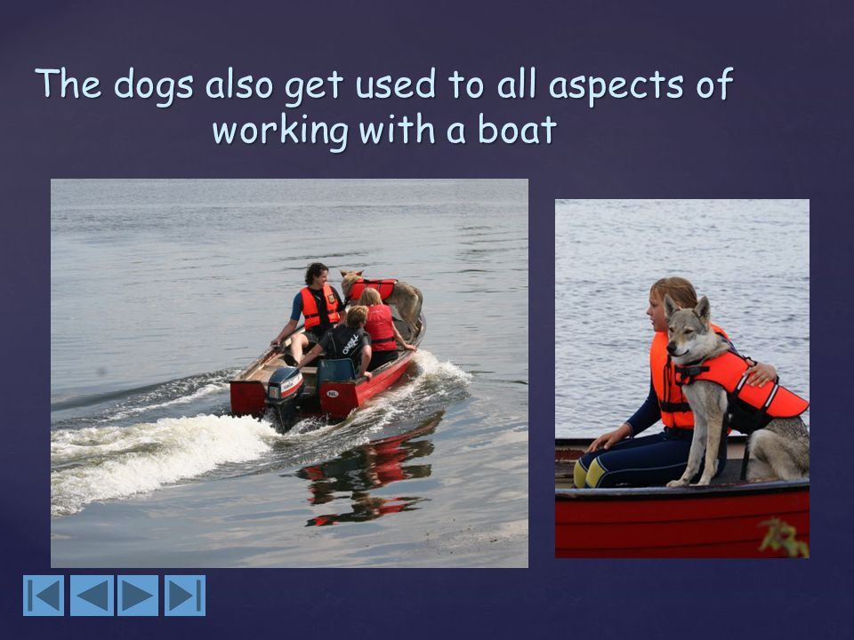 The dogs also get used to all aspects of working with a boat
