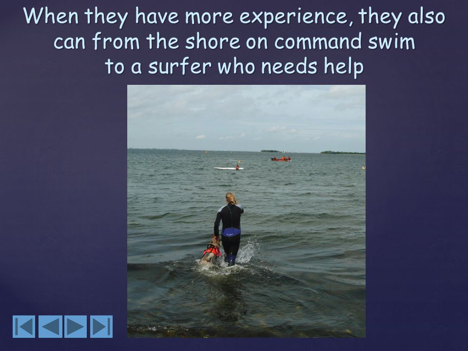 When they have more experience, they also can from the shore on command swim to a surfer who needs help
