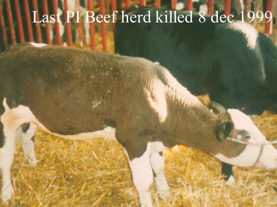 Last PI Beef herd killed 8 dec 1999