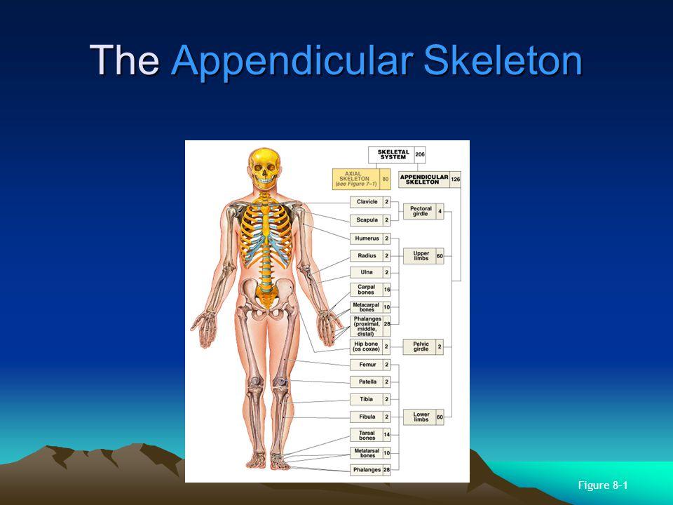 The Pelvic Girdle Made up of 2 hipbones (ossa coxae) Strong to bear body weight, stress of movement Part of the pelvis Os Coxae Made up of 3 fused bones: –ilium (articulates with sacrum) –ischium –pubis