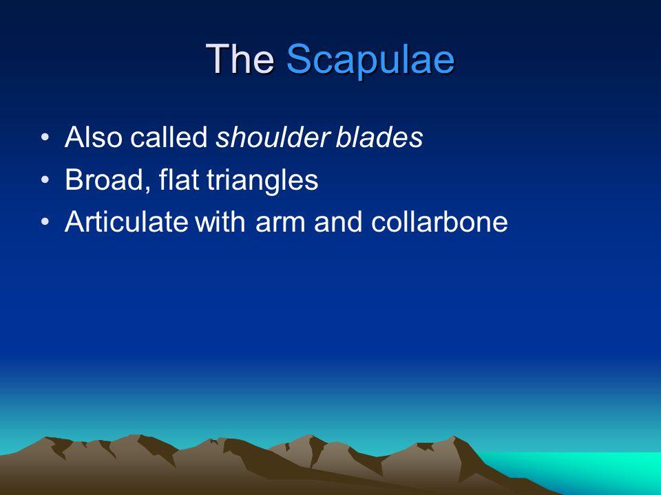 The 4 Distal Carpal Bones Trapezium: –lateral Trapezoid bone: –medial to trapezium Capitate bone: –largest Hamate bone: –medial, distal