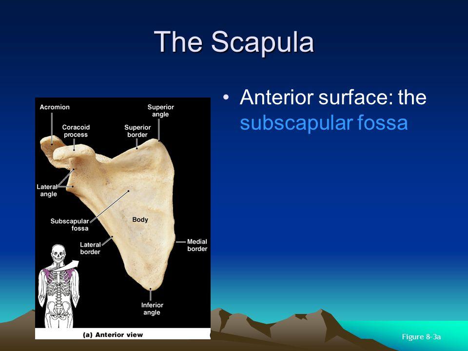 Structures of the Scapula Body has 3 sides: –superior border –medial border (vertebral border) –lateral border (axillary border) Body has 3 corners: –superior angle –inferior angle –lateral angle