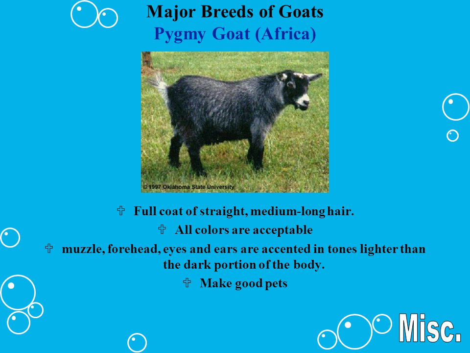 Major Breeds of Goats Pygmy Goat (Africa) UFull coat of straight, medium-long hair. UAll colors are acceptable Umuzzle, forehead, eyes and ears are ac