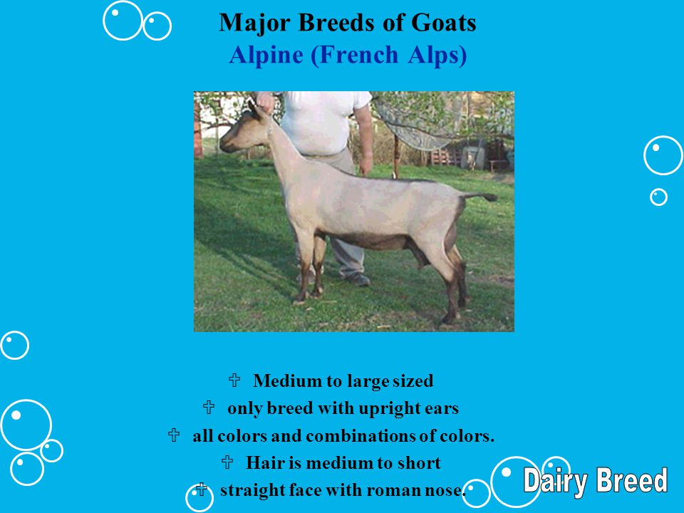 Major Breeds of Goats Alpine (French Alps) UMedium to large sized Uonly breed with upright ears Uall colors and combinations of colors. UHair is mediu