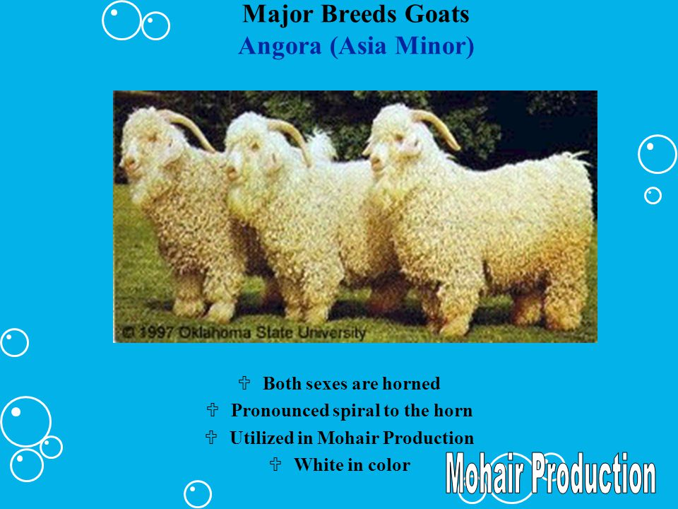 Major Breeds Goats Boer (South Africa) UAlso known as the Africander UEarly maturing UPredominantly white with red head but some solid red exist.